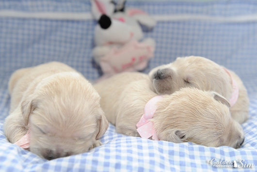 chiots-golden-retriever-du-domaine-of-sim
