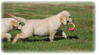Les garanties sanitaires des chiots golden retrievers de l'élevage golden retrievers of Sim