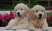 2-filles-golden-retrievers-of-sim.jpg