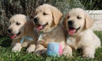 3-chiots-golden-retrievers-males-elevage-of-sim.jpg