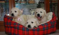 3-chiots-golden-retrievers-of-sim-sages-comme-des-images.jpg
