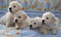 4-chiots-de-race-golden-retriever-de-lelevage-of-sim.jpg