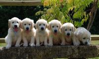 6-chiots-golden-retrievers-assis-sur-unbanc.jpg