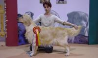 1er-prix-dexcellence-chienne-golden-retrivers-of-sim-a-madrid.jpg
