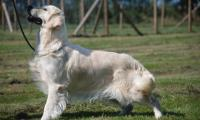 chienne-golden-retriever-of-sim-de-robe-creme.jpg